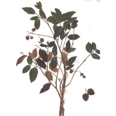 Combretum Blech geschnitten IPHYM Kräuterkunde Combretum micranthum G.