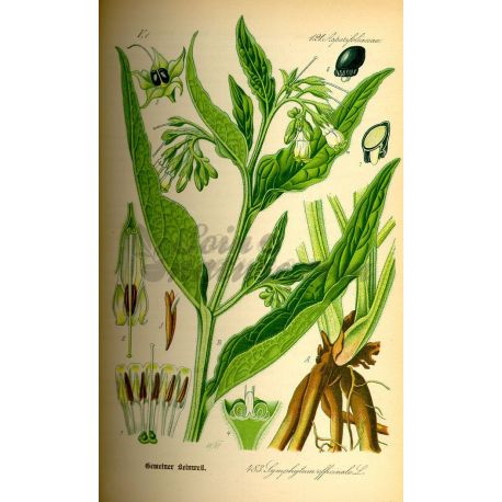 BEINWELL GREAT ROOT CUT IPHYM Kräuterkunde Symphytum officinale L.