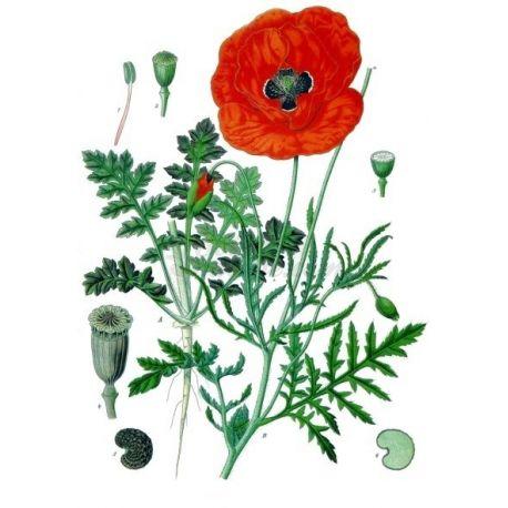 Papavero petalo Papaver rhoeas L. IPHYM Herbalism