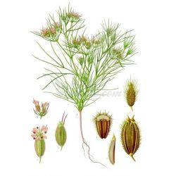 CUMIN FRUIT IPHYM Herboristerie Cuminum cyminum