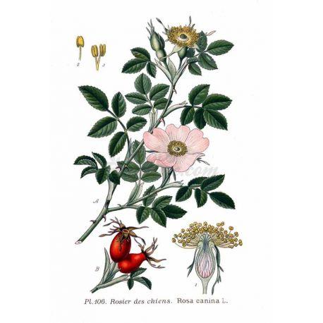 CYNORRHODON (Eglantier) BAIE IPHYM Herboristerie Rosa canina L.