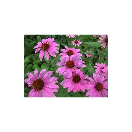 Echinacea (Echinacea) - Racine severed Pack of 100 g