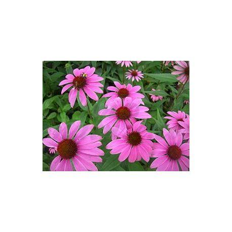 ECHINACEA ECHINACEE RACINE COUPEE IPHYM Herboristerie Echinacea purpurea
