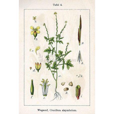 CUT PLANTA Erysimum IPHYM Herboristeria Sisymbrium officinale L.