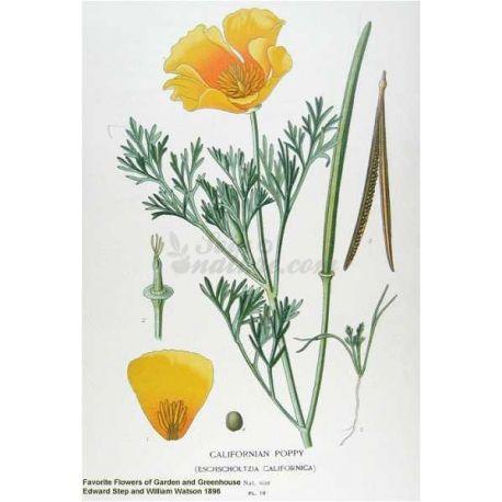 ESCHSCHOLTZIA CALIFORNICA PLANTE COUPEE IPHYM Herboristerie Eschscholtzia californica C.