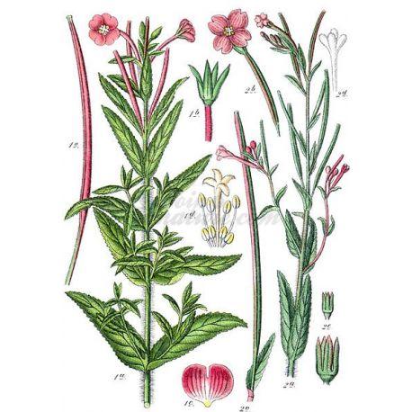 Weidenröschen Pflanze mit kleinen Blumen geschnitten IPHYM Herb Epilobium parviflorum