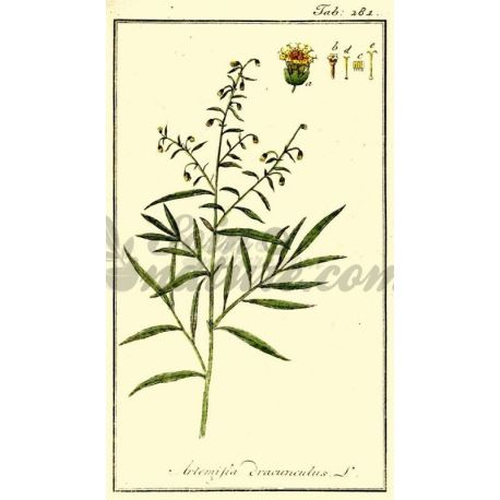 ESTRAGON SHEET CUT IPHYM Herbalism Artemisia dracunculus L.