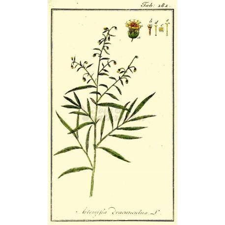 Estragone SCHEDA CUT IPHYM Erboristeria Artemisia dracunculus L.