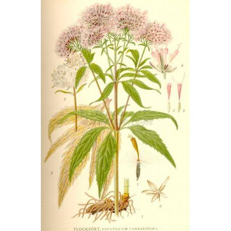 Tota la planta Eupatorium Paquet de 250 g