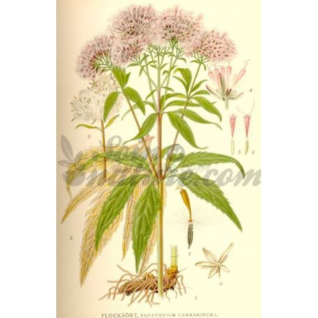 Whole plant Eupatorium Pack 250 g