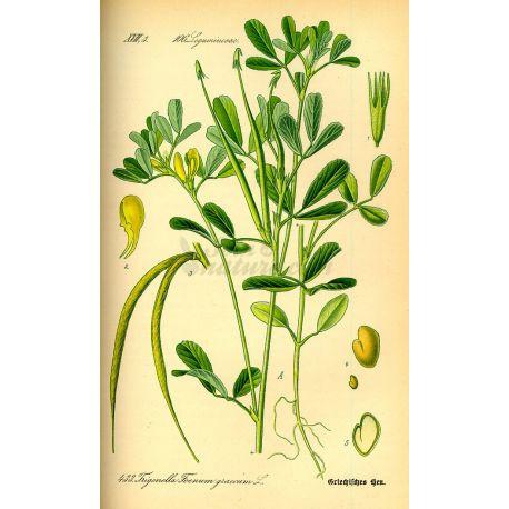 FENUGREC GRAINE IPHYM Herboristerie Trigonella foenum-graecum L.
