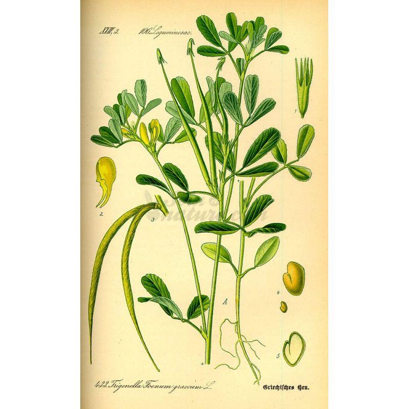Semillas de alholva IPHYM Herboristería Trigonella foenum