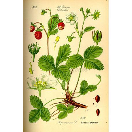 Erdbeerblatt-Pack 250 g