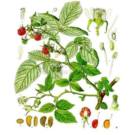 FRAMBOISIER FEUILLE COUPEE IPHYM Herboristerie Rubus idaeus L.