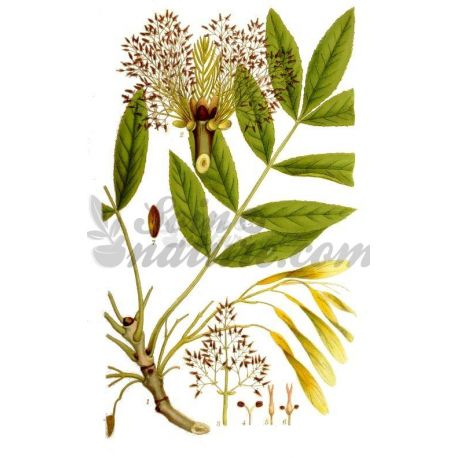 FRENE FEUILLE TIGETTE COUPEE IPHYM Herboristerie Fraxinus excelsior L.