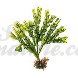 FUCUS VESICULOSUS THALLE COUPE IPHYM Herboristerie Fucus vesiculosus L.