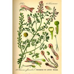 FUMETERRE PLANTE COUPEE IPHYM Herboristerie Fumaria officinalis L.