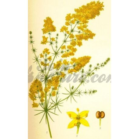 Gaillet jaune CAILLE LAIT COUPEE IPHYM Herboristerie Galium verum L.
