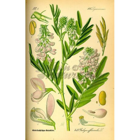 GALEGA PLANTE COUPEE IPHYM Herboristerie Galega officinalis
