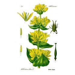 Gentian ganze Pflanze Paket von 250 g
