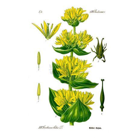 GENTIANE RACINE COUPEE IPHYM Herboristerie Gentiana lutea L.