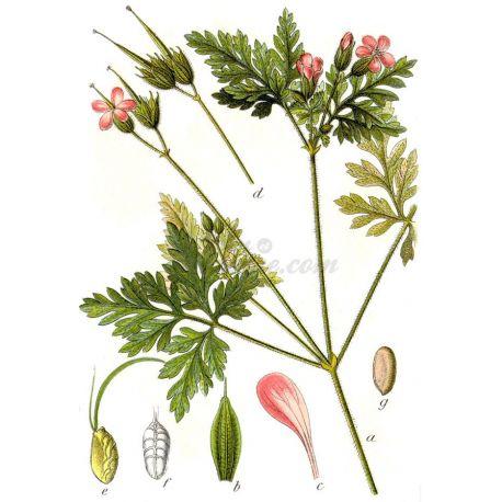 GERANIUM ROBERT PLANTE COUPEE IPHYM Herboristerie Geranium robertianum L.