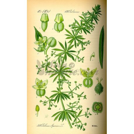 GRATTERON PLANTE COUPEE IPHYM Herboristerie Galium aparine L.