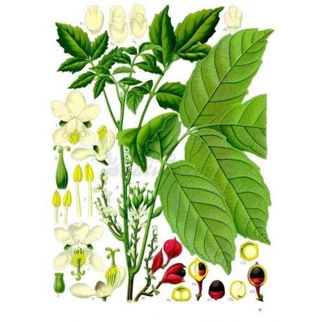 GUARANA SEMENCE IPHYM Herboristerie Paullinia cupana Kunth.