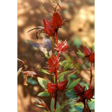 HIBISCUS KARKADE FLEUR ENTIERE IPHYM Herboristerie Hibiscus sabdariffa L.