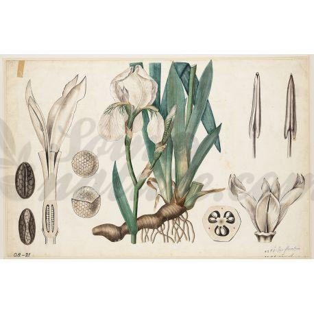 IRIS FLORENCE Rhizome coupé IPHYM Herboristerie Iris florentina