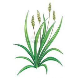 Ispaghul - Whole Seed Pack de 250 g