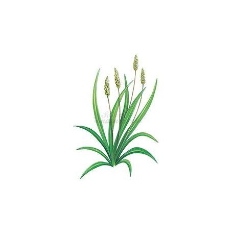 ISPAGHUL SEMENCE (PSYLLIUM ROSE) IPHYM Herboristerie Plantago ovata F.