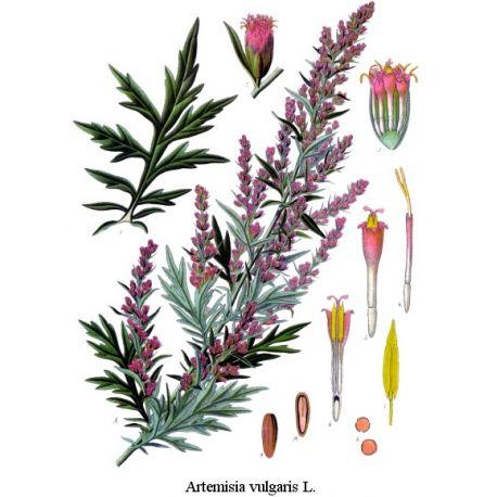 Armoise commune (vulgaire) Feuille HERBORISTERIE Artemisia vulgaris