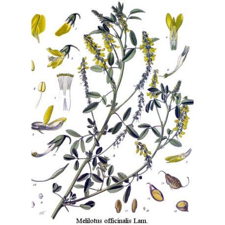 Mélilot jaune plante Paquet de 250 g