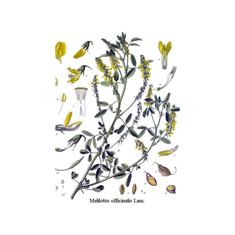 M lilot jaune plante paquet de 250 g for Plante jaune