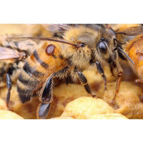 Trattamento naturale anti-anti-Varroa peste ANTI-Nosema