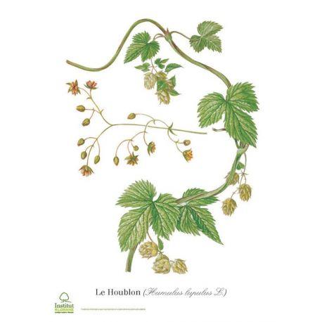 GREEN HALF HOPS Humulus lupulus cone IPHYM Herbs