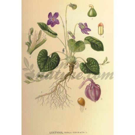 Violette Bloem Viola odorata L. IPHYM Herbalism