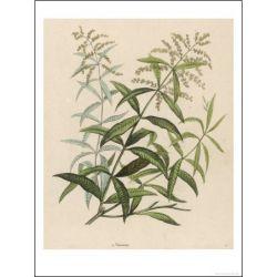 Verbena SHEET CUT Lippia citriodora IPHYM Herbalism