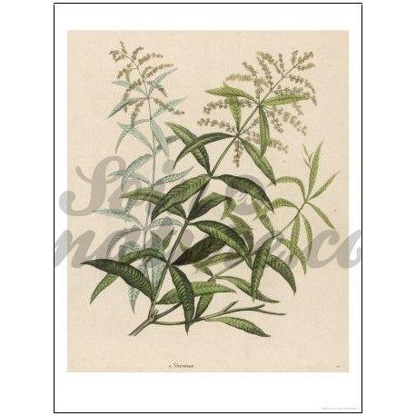 VERVEINE ODOR SHEET CUT Lippia citriodora IPHYM Herbalism