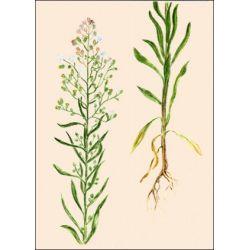 Canada CUT PLANTA fleabane IPHYM Herboristería Erigeron canadensis