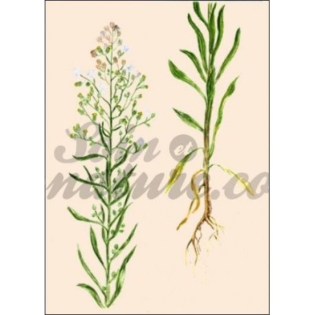 Kanada fleabane PLANT CUT IPHYM Kräuterkunde Erigeron canadensis