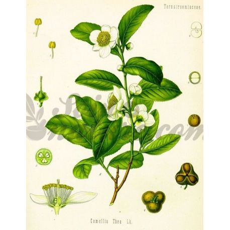 THE VERT ENTIERE IPHYM Herboristerie Camellia sinensis (L.)