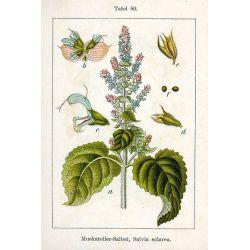 SAUGE SCLAREE SOMMITE COUPEE IPHYM Herboristerie Salvia sclarea