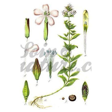 SAPONAIRE PLANTE COUPEE IPHYM Herboristerie Saponaria officinalis L.