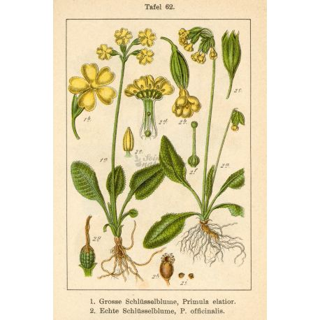 PRIMEVERE FLEUR IPHYM Herboristerie Primula officinalis /P. veris L.