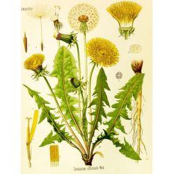 PISSENLIT FEUILLE COUPEE IPHYM Herboristerie Taraxacum officinale