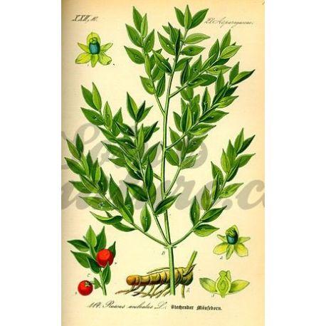 PETIT HOUX RHIZOME COUPE IPHYM Herboristerie Ruscus aculeatus L.