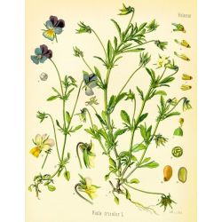 PENSEE SAUVAGE FLEUR IPHYM Herboristerie Viola tricolor L. / V. arvensis Murray