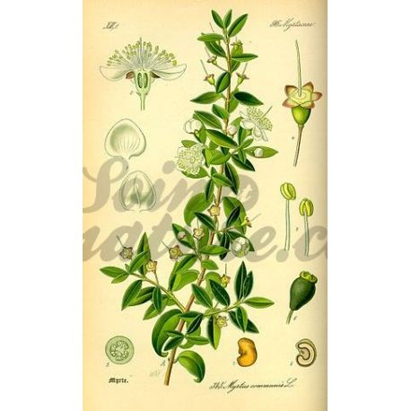 MYRTE FEUILLE ENTIERE IPHYM Herboristerie Myrtus communis